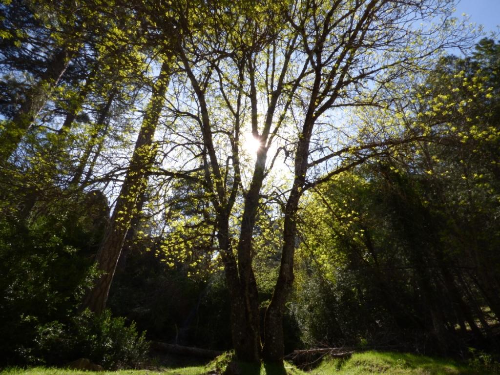 Fresno, bosques de Cazorla