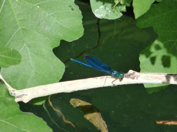 insectos del rio borosa, caballito del diablo